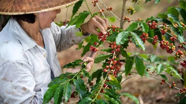 Coffee cherries are harvested -- usually by hand -- between November and February.